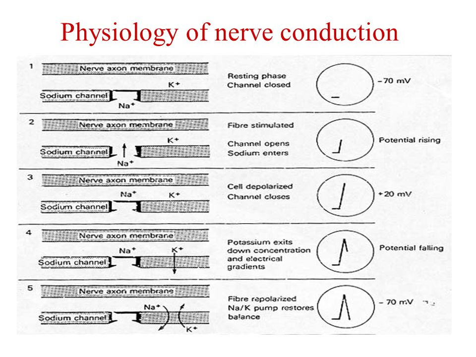Physiology of nerve conduction
