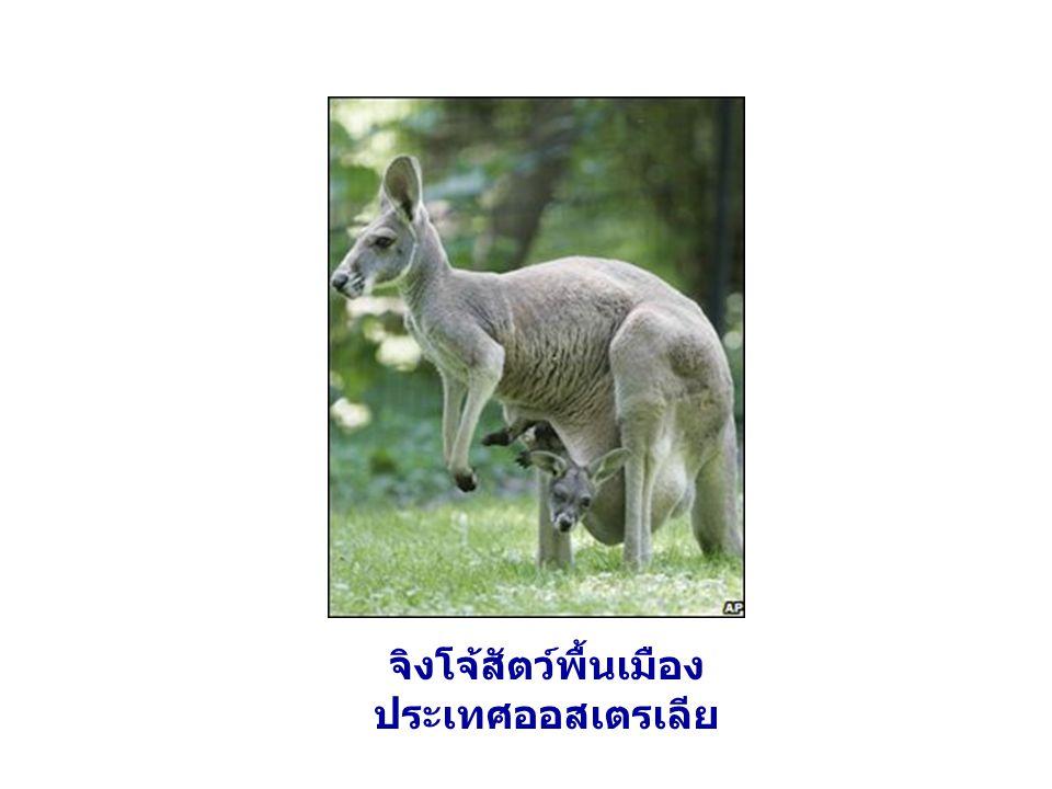 จิงโจ้สัตว์พื้นเมือง ประเทศออสเตรเลีย