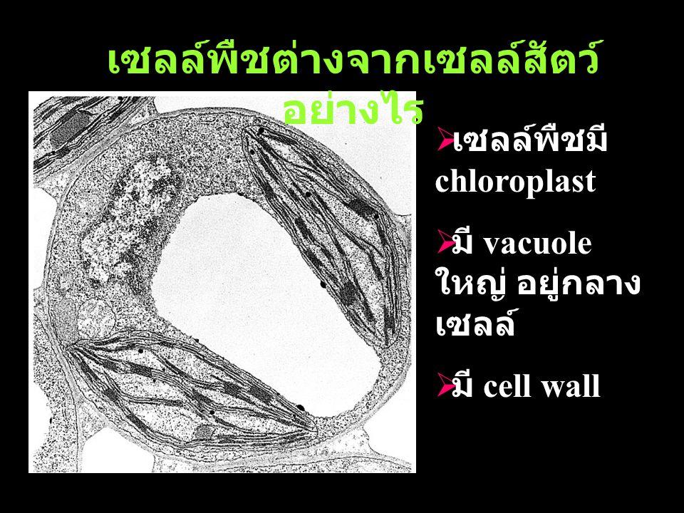 เซลล์พืชต่างจากเซลล์สัตว์ อย่างไร  เซลล์พืชมี chloroplast  มี vacuole ใหญ่ อยู่กลาง เซลล์  มี cell wall