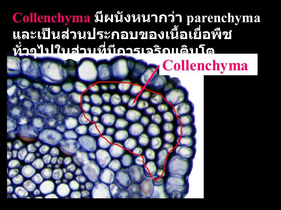 Sclerenchyma  เป็นเซลล์ที่มีรูปร่าง เฉพาะและทำหน้าที่เป็น โครงสร้างให้พืชแข็งแรง  มีผลังเซลล์หนาขึ้น เป็น สารพวก lignin  อาจเป็นเซลล์ที่ตายแล้ว  ตัวอย่างเช่น fiber cells เป็นเซลล์ที่มีรูปร่างยาว Sclereids (stone cell) มีรูปร่างไม่แน่นอน ผนัง เซลล์หนามาก