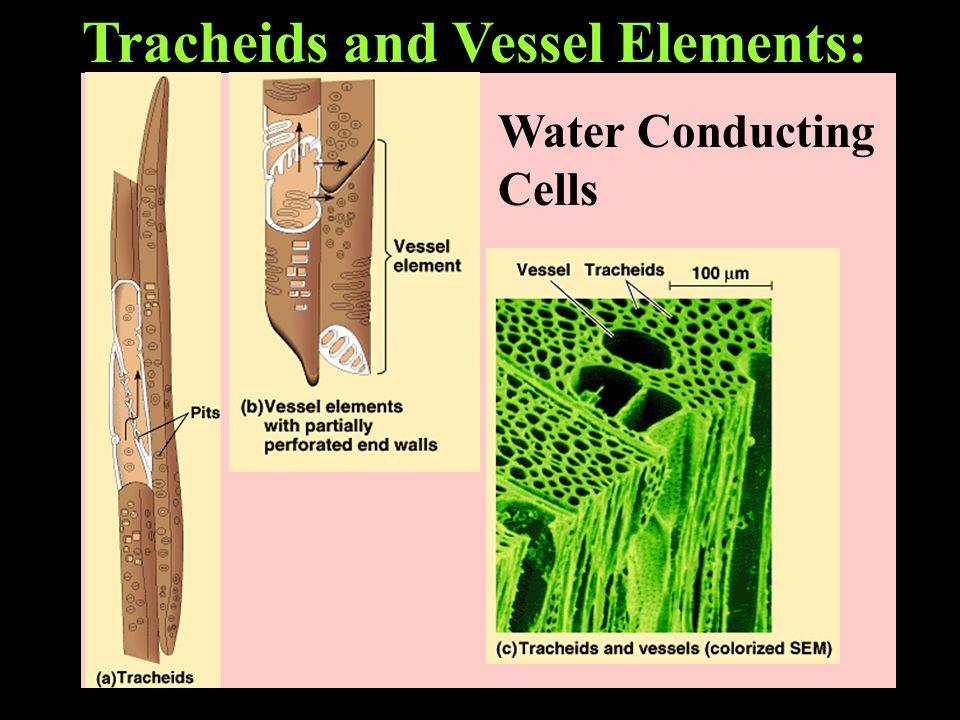 Sieve-Tube Members: Food Conducting Cells