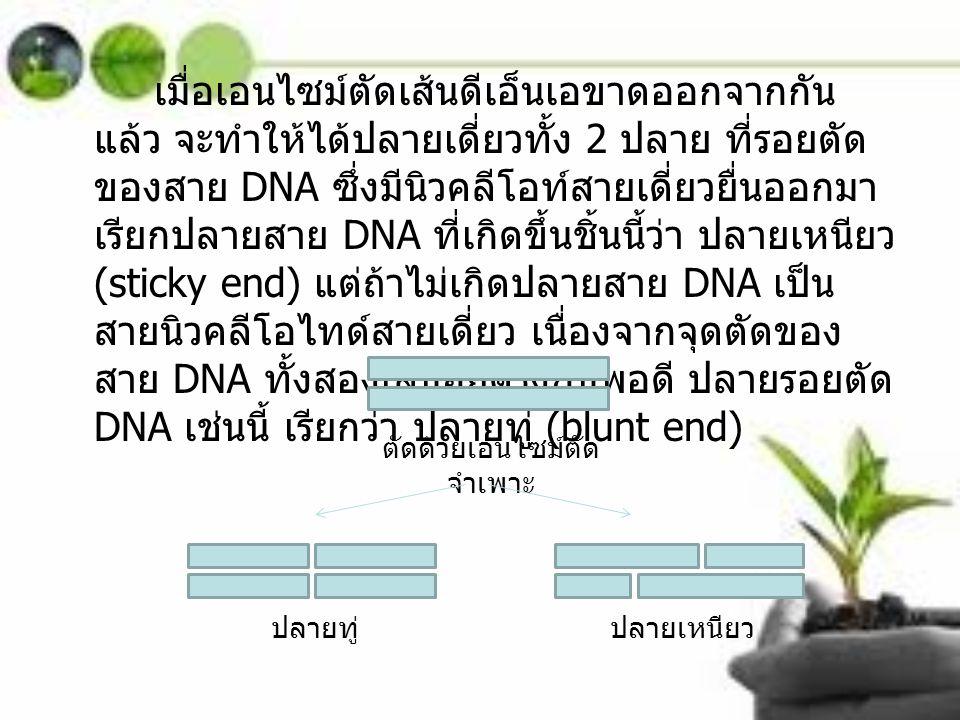 เมื่อเอนไซม์ตัดเส้นดีเอ็นเอขาดออกจากกัน แล้ว จะทำให้ได้ปลายเดี่ยวทั้ง 2 ปลาย ที่รอยตัด ของสาย DNA ซึ่งมีนิวคลีโอท์สายเดี่ยวยื่นออกมา เรียกปลายสาย DNA