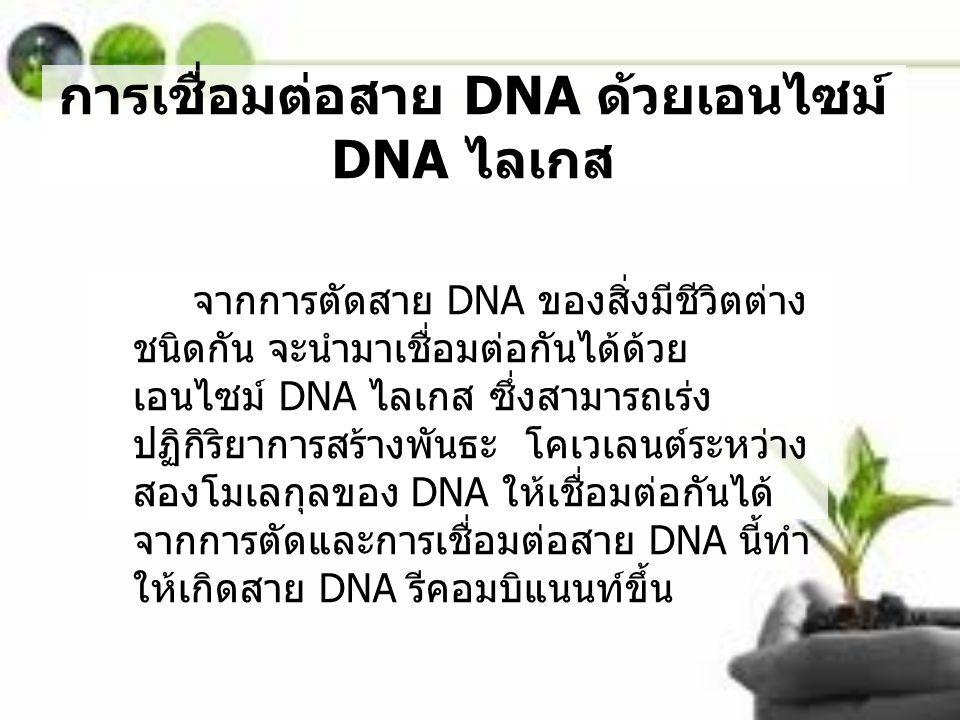 การเชื่อมต่อสาย DNA ด้วยเอนไซม์ DNA ไลเกส จากการตัดสาย DNA ของสิ่งมีชีวิตต่าง ชนิดกัน จะนำมาเชื่อมต่อกันได้ด้วย เอนไซม์ DNA ไลเกส ซึ่งสามารถเร่ง ปฏิกิ