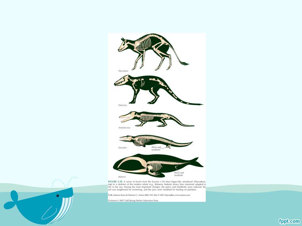 หลักฐานที่พิสูจน์ได้ คือ เศษฟอสซิลนับร้อยๆ ชิ้น อาทิ ส่วนกะโหลก กราม และขาของอิน โดไฮอุสซึ่งขุดได้จากชั้นหินดินดานในแคว้น แคชเมียร์เมื่อประมาณ 30 ปีก่อน ทำให้สามารถ เชื่อมโยงสายวิวัฒนาการของอินโดไฮอุสกับ สัตว์เลี้ยงลูกด้วยนมที่ อาศัยอยู่ในน้ำชนิดอื่นๆ อาทิ วาฬ และโลมา ได้ ทั้งนี้ เป็นที่เชื่อกันมานานว่าฮิปโปโปเตมัสเป็น ญาติที่มีความใกล้ชิดที่สุดกับวาฬเนื่องจาก รูปร่างภายนอกที่ใกล้เคียง กันและดีเอ็นเอที่ เทียบเคียงกันได้