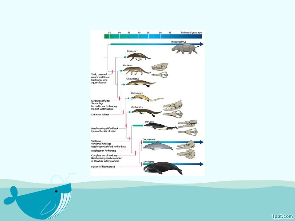 ได้มีข้อมูลในการค้นพบ ซากกระดูกของ ปลาวาฬบริเวณฝั่งแม่น้ำ อลาบาม่าและ มิสซิสซิปปี ซึ่งเป็นการค้นพบซากสัตว์สมัย โบราณโดยนักคุดค้นมือสมัครเล่น โดยซาก กระดูกที่ได้นั้นเป็นซากกระดูกของปลาวาฬใน ตระกูล Georgiacetus ซึ่งเคยว่ายจากแถบอ่าว ทางอเมริกาเหนือมายังแถวฟลอริด้าเมื่อ 40 ล้านปีที่ผ่านมา ในเวลาที่รัฐฟลอริด้ายังเป็น เมืองที่เกือบจมอยู่ใต้น้ำอยู่ทั้งหมด สิ่งมีชีวิตที่ พบนี้มีความยาวประมาณ 12 ฟุต มีลักษณะของ ฟันที่แหลมคม และอาหารของมันก็คือปลาหมึก และปลาเล็กปลาน้อย