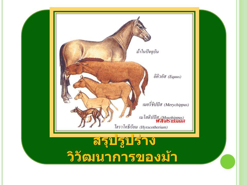 สรุปรูปร่าง วิวัฒนาการของม้า สรุปรูปร่าง วิวัฒนาการของม้า