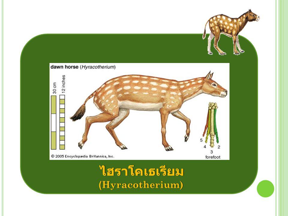 ในยุคโอลิโกซีน (Oligocene) หรือ ประมาณ 28 ล้านปีที่ผ่านมาได้มี วิวัฒนาการของม้ามาเป็นลำดับ โดยมีขนาดตัวโตขึ้น เรียกว่า เมโซฮิป ปุส (Mesohippus) แต่ยังกินพืช เป็นอาหาร เมโซฮิปปุส
