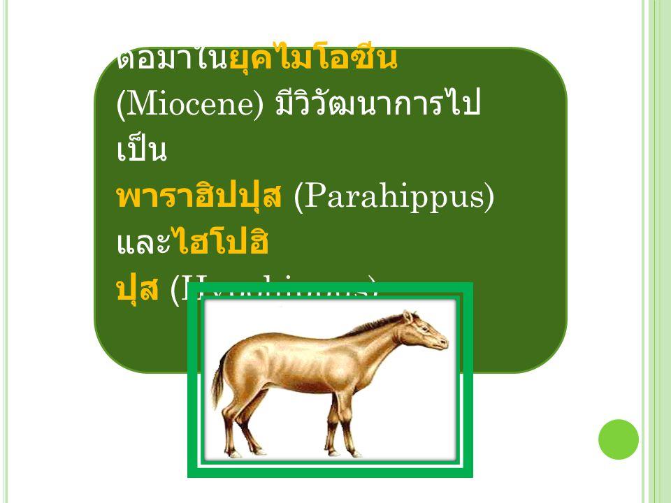 การเปลี่ยนแปลงที่ สำคัญของบรรพบุรุษของม้าใน ยุคนี้ คือ ฟัน โดยเปลี่ยนเป็นฟัน แข็งแรงเหมาะสำหรับการบด เคี้ยวหญ้ามากขึ้น และกินหญ้า เป็นอาหารแทนใบไม้ บรรพบุรุษ ของม้าในกลุ่มไฮโปฮิปปุส (Hypohippus) ได้อพยพย้าย ถิ่นที่สำคัญไปอยู่แถบทวีปยุโรป และเอเชียด้วย อเมริกาใต้