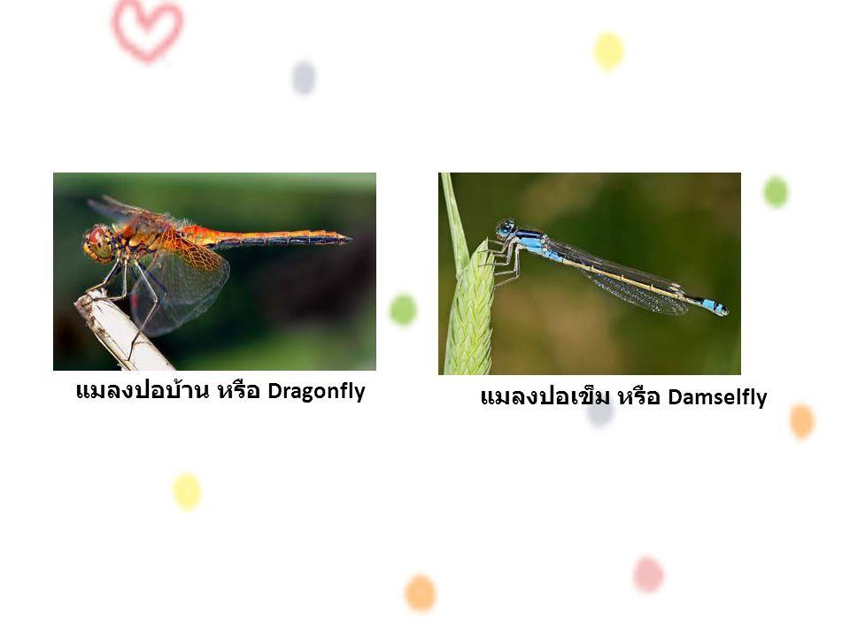 แมลงปอบ้าน หรือ Dragonfly แมลงปอเข็ม หรือ Damselfly