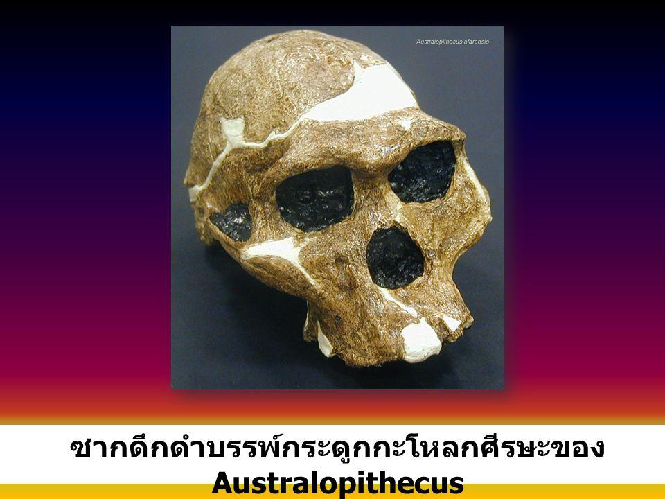 ซากดึกดำบรรพ์กระดูกกะโหลกศีรษะของ Australopithecus