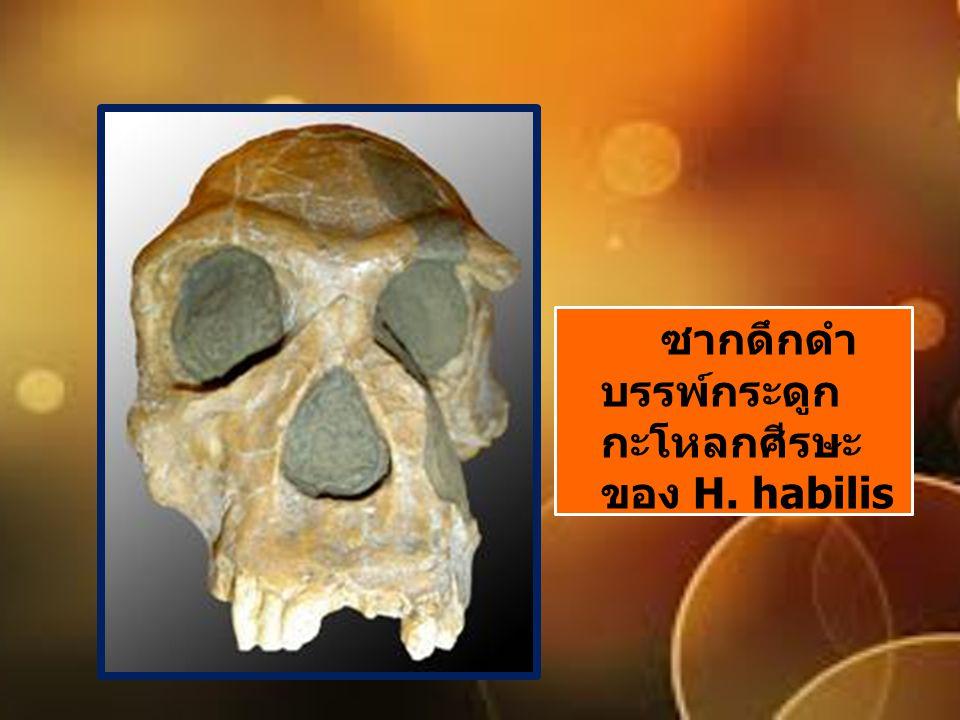 ซากดึกดำ บรรพ์กระดูก กะโหลกศีรษะ ของ H. habilis