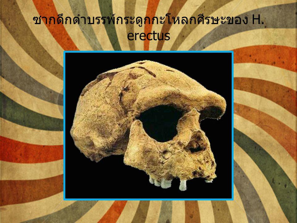 ซากดึกดำบรรพ์กระดูกกะโหลกศีรษะของ H. erectus