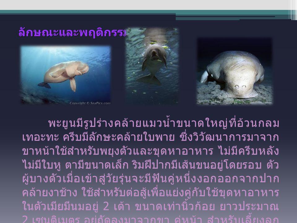 ลักษณะและพฤติกรรม พะยูนมีรูปร่างคล้ายแมวน้ำขนาดใหญ่ที่อ้วนกลม เทอะทะ ครีบมีลักษะคล้ายใบพาย ซึ่งวิวัฒนาการมาจาก ขาหน้าใช้สำหรับพยุงตัวและขุดหาอาหาร ไม่