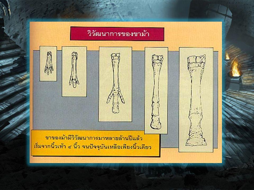 มีหลักฐานจากฟอสซิล (Fossil) พบว่า ในสมัย โบราณมีสัตว์หลายชนิดที่เจริญเติบโต และ พัฒนาการมาจากบรรพบุรุษของม้า แต่สัตว์ เหล่านั้นหลายชนิดได้สูญพันธุ์ และล้มหายตาย จากไปตามกฎเกณฑ์การอยู่รอดของธรรมชาติ คงเหลือเฉพาะสัตว์ตระกูลม้า วิวัฒนาการของ สัตว์ชนิดนี้มีต้นกำเนิดในทวีปอเมริกาเหนือใน ยุคอิโอซีน (Eocene) หรือประมาณ ๕๐ ล้านปี มาแล้ว บรรพบุรุษเก่าแก่ของม้าได้ถือกำเนิด ขึ้นมาเป็นครั้งแรกมีขนาดตัวเท่าสุนัขจิ้งจอก หน้าตาคล้ายม้าในปัจจุบัน ขาหนีบมีนิ้วเท้า ๔ นิ้ว ขาหลังมี ๓ นิ้ว ลักษณะฟันบ่งชี้ว่า เป็นสัตว์ ที่กินใบไม้เป็นอาหาร เรียกว่า ไฮราโคเธเรียม (Hyracotherium) และมีการค้นพบซากที่มี ลักษณะคล้ายกันในแถบยุโรป เรียกว่า อิโอฮิป ปุส (Eohippus)