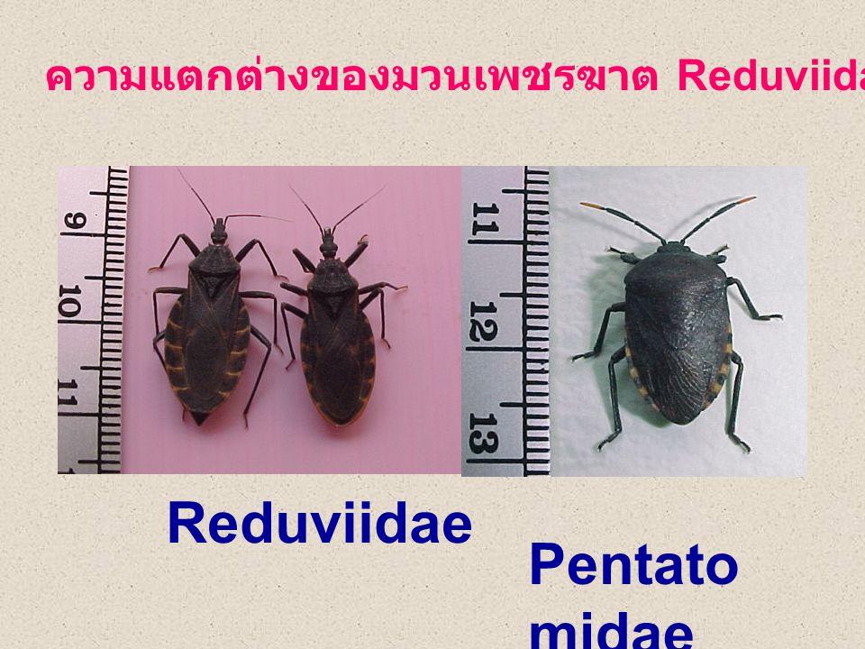 ความแตกต่างของมวนเพชรฆาต Reduviidae และ มวน Pentatomid Reduviidae Pentato midae