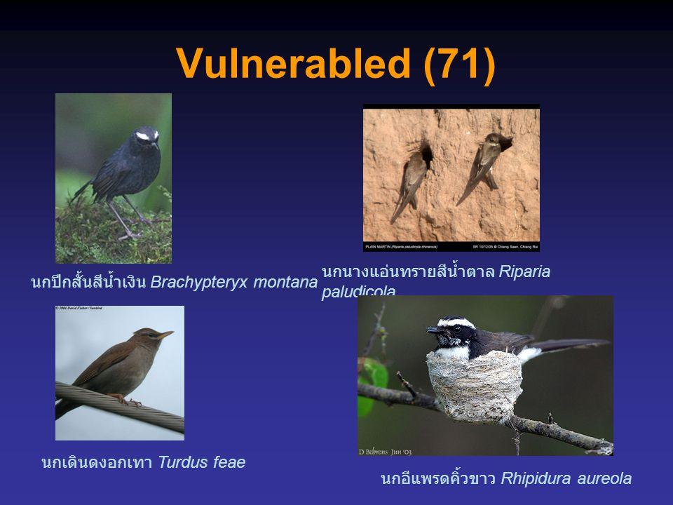 Vulnerabled (71) นกอีแพรดคิ้วขาว Rhipidura aureola นกปีกสั้นสีน้ำเงิน Brachypteryx montana นกเดินดงอกเทา Turdus feae นกนางแอ่นทรายสีน้ำตาล Riparia paludicola