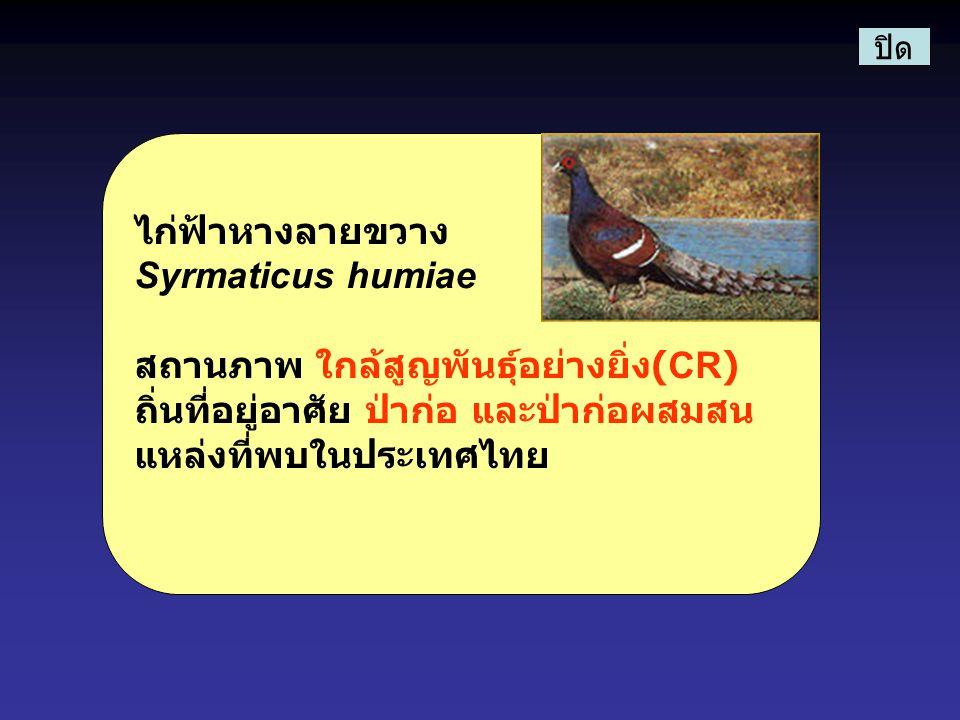 ไก่ฟ้าหางลายขวาง Syrmaticus humiae สถานภาพ ใกล้สูญพันธุ์อย่างยิ่ง (CR) ถิ่นที่อยู่อาศัย ป่าก่อ และป่าก่อผสมสน แหล่งที่พบในประเทศไทย ปิด