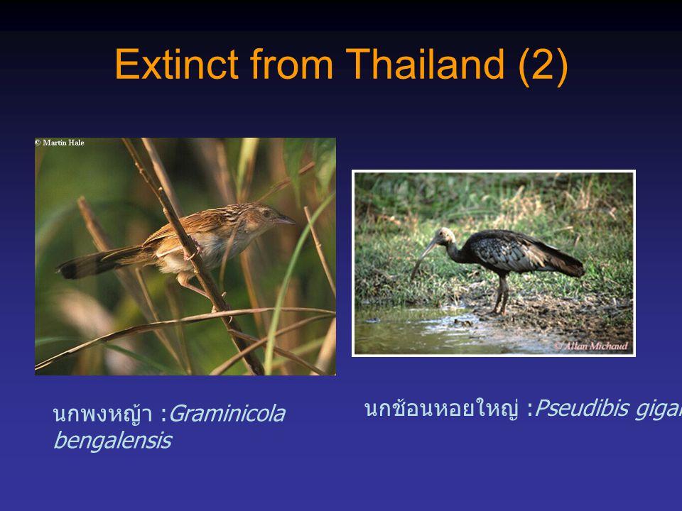 Extinct from Thailand (2) นกพงหญ้า :Graminicola bengalensis นกช้อนหอยใหญ่ :Pseudibis gigantea