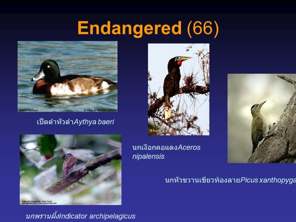 Endangered (66) นกพรานผึ้ง Indicator archipelagicus นกหัวขวานเขียวท้องลาย Picus xanthopygaeus เป็ดดำหัวดำ Aythya baeri นกเงือกคอแดง Aceros nipalensis