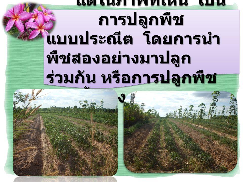 โดยเกษตรกรจะปลูก ยางพาราก่อน แล้วค่อยปลูก มันสำปะหลังตามทีหลัง เพื่อให้ การใช้พื้นที่ให้เกิดประโยชน์ สูงสุดนั้นเอง โดยเกษตรกรจะปลูก ยางพาราก่อน แล้วค่อยปลูก มันสำปะหลังตามทีหลัง เพื่อให้ การใช้พื้นที่ให้เกิดประโยชน์ สูงสุดนั้นเอง