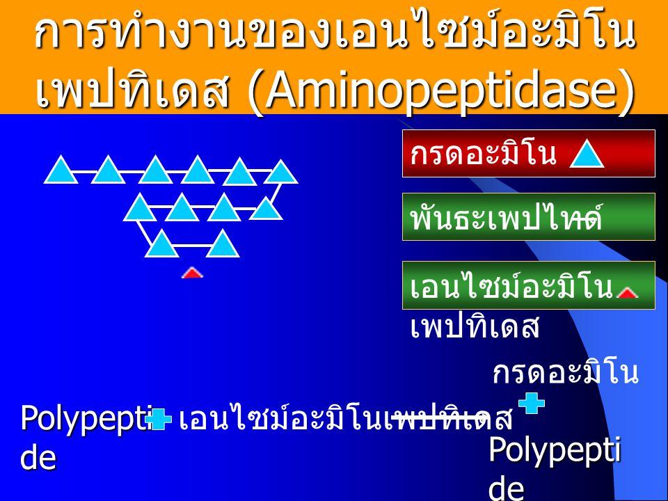 การทำงานของเอนไซม์อะมิโน เพปทิเดส (Aminopeptidase) กรดอะมิโน พันธะเพปไทด์ เอนไซม์อะมิโน เพปทิเดส Polypepti de เอนไซม์อะมิโนเพปทิเดส กรดอะมิโน Polypepti de
