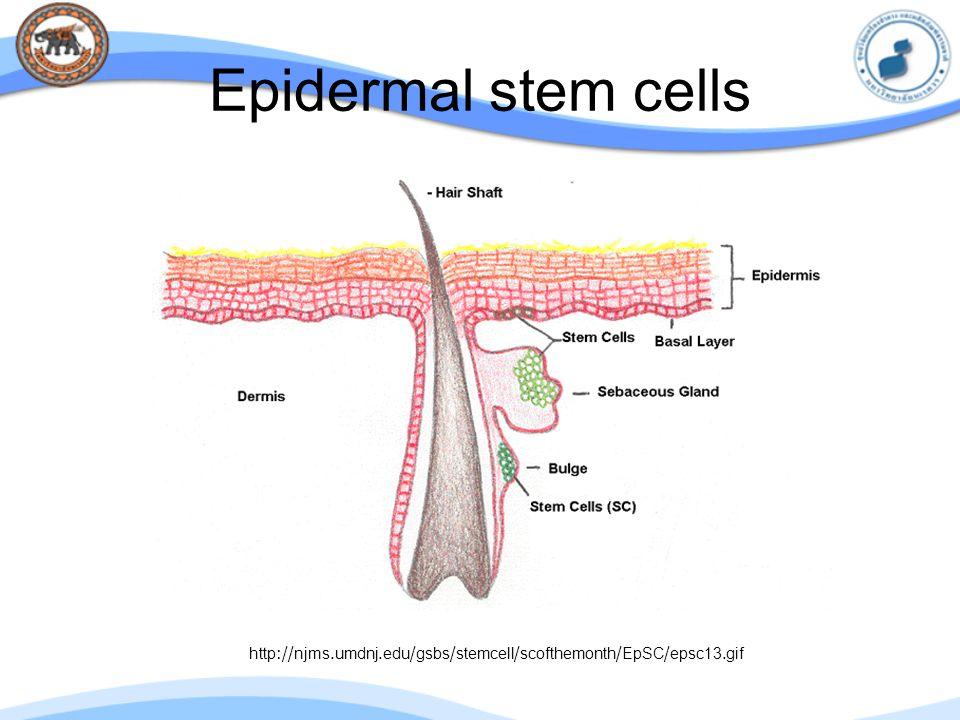 Epidermal stem cells http://njms.umdnj.edu/gsbs/stemcell/scofthemonth/EpSC/epsc13.gif