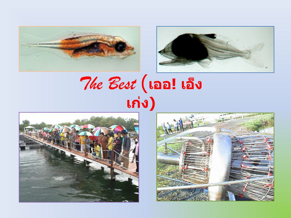 Ammonia Food O2O2 CO 2 Uneaten food Solid waste and dissolve waste Organic waste from the fish เมือก เลือด ซาก