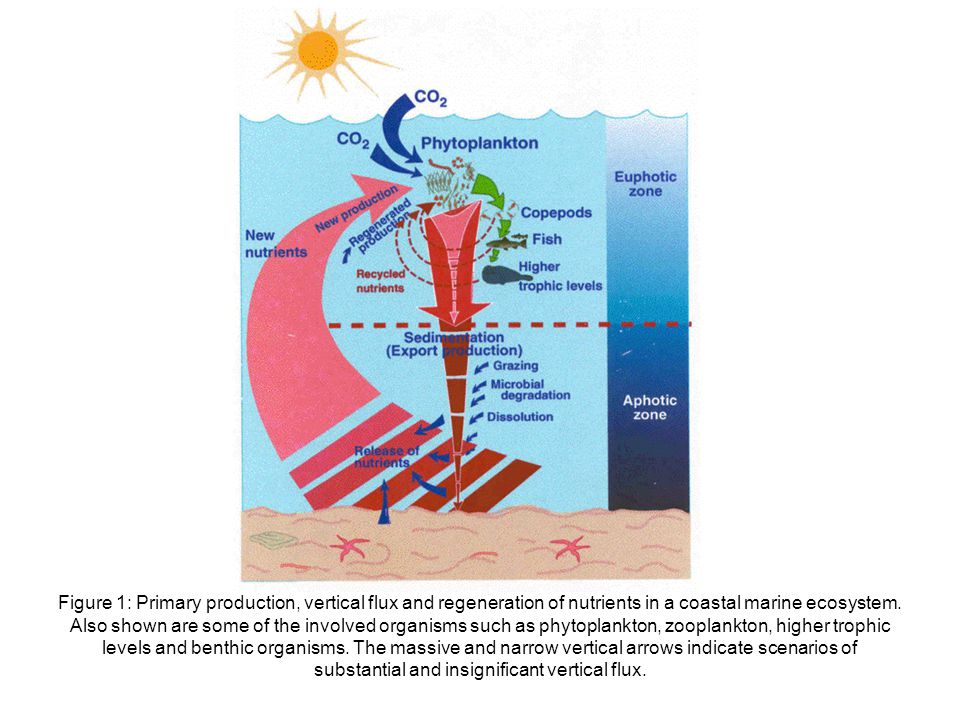 Figure 1: Primary production, vertical flux and regeneration of nutrients in a coastal marine ecosystem.