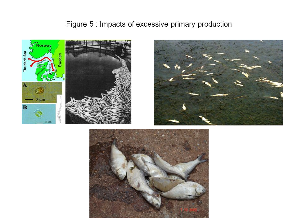 Figure 6 : Impacts of anthropogenically - enchanced nutrient loading on coastal biogeochemical, trophodynamics and water quality, Note the numerous potenially negative feedbacks which come into play in response to increased eutrophication (i.e.