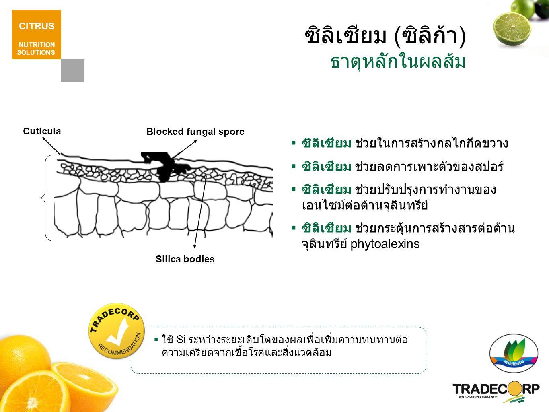 CITRUS NUTRITION SOLUTIONS ซิลิเซียม ( ซิลิก้า ) ธาตุหลักในผลส้ม  ซิลิเซียม ช่วยในการสร้างกลไกกีดขวาง  ซิลิเซียม ช่วยลดการเพาะตัวของสปอร์  ซิลิเซียม ช่วยปรับปรุงการทำงานของ เอนไซม์ต่อต้านจุลินทรีย์  ซิลิเซียม ช่วยกระตุ้นการสร้างสารต่อต้าน จุลินทรีย์ phytoalexins  ใช้ Si ระหว่างระยะเติบโตของผลเพื่อเพิ่มความทนทานต่อ ความเครียดจากเชื้อโรคและสิ่งแวดล้อม Blocked fungal spore Silica bodies Cuticula