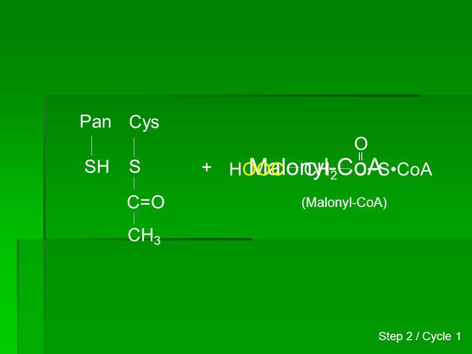 Pan S Cys S C=O CH 3 C=O CH 2 COOH H CH 2 C~SCoA O (Malonyl-CoA) HOOC Step 2 / Cycle 1 Acetyl-malonyl enzyme