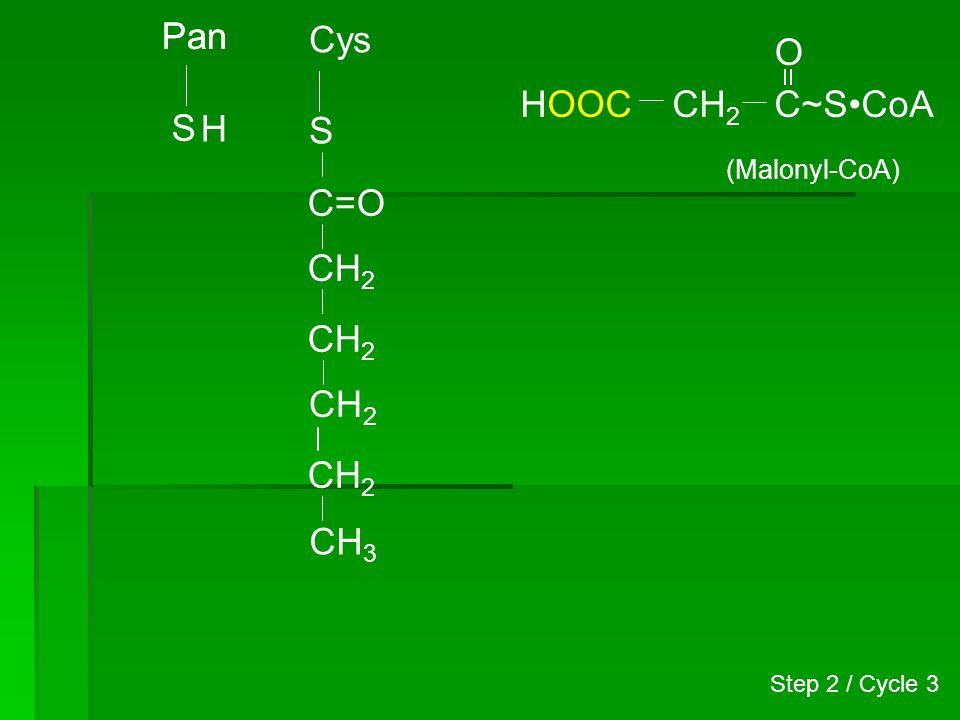 Pan S Cys S CH 3 C=O (CH 2 ) 4 H CH 2 C~SCoA O (Malonyl-CoA) HOOC C=O CH 2 COOH + 3-Ketoacyl synthase Step 2 / Cycle 3