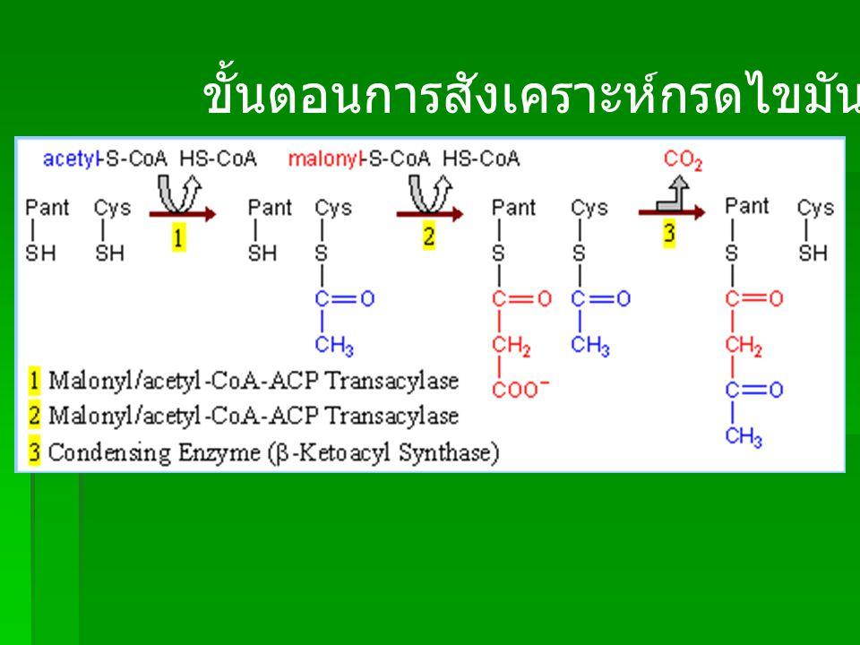 4, 5, 6 เป็นขั้นตอนที่ใช้ enzyme ชนิดต่างๆ ในขั้นตอนที่ 4 และ 6 ใช้ NADPH ที่มาจาก Pentose Phosphate Pathway