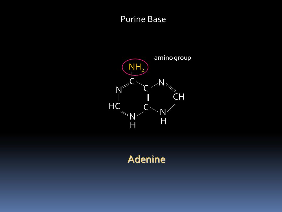 C HC N C C N N CH H NH 2 H N Purine Base Adenine amino group