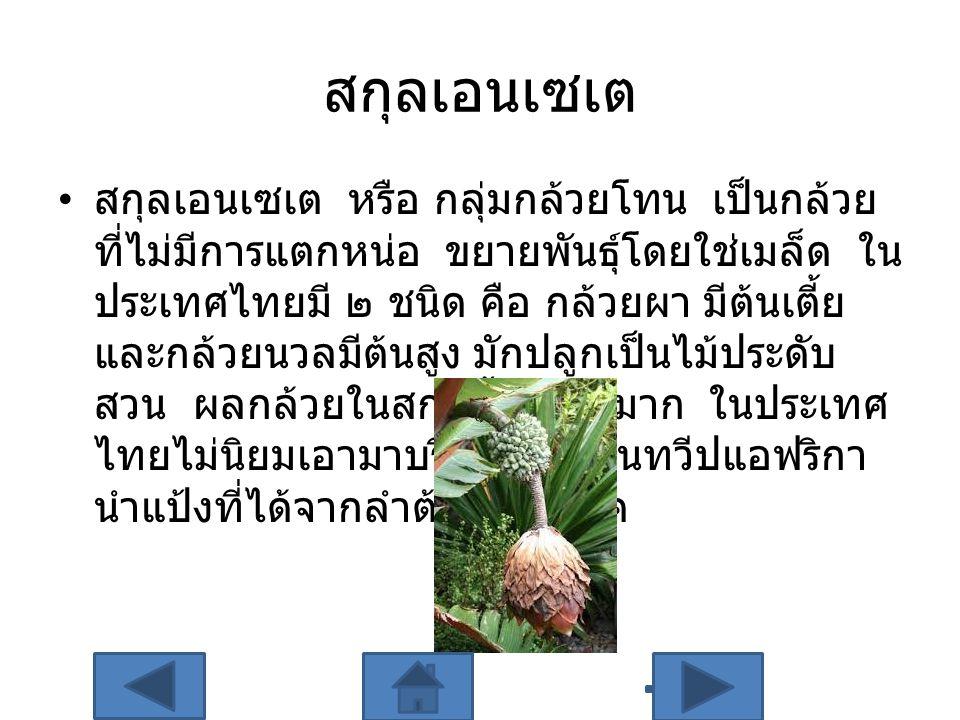 สกุลเอนเซเต สกุลเอนเซเต หรือ กลุ่มกล้วยโทน เป็นกล้วย ที่ไม่มีการแตกหน่อ ขยายพันธุ์โดยใช่เมล็ด ใน ประเทศไทยมี ๒ ชนิด คือ กล้วยผา มีต้นเตี้ย และกล้วยนวล