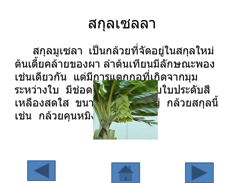 สกุลเซลลา สกุลมูเซลา เป็นกล้วยที่จัดอยู่ในสกุลใหม่ ต้นเตี้ยคล้ายของผา ลำต้นเทียนมีลักษณะพอง เช่นเดียวกัน แต่มีการแตกกอที่เกิดจากมุม ระหว่างใบ มีช่อดอก