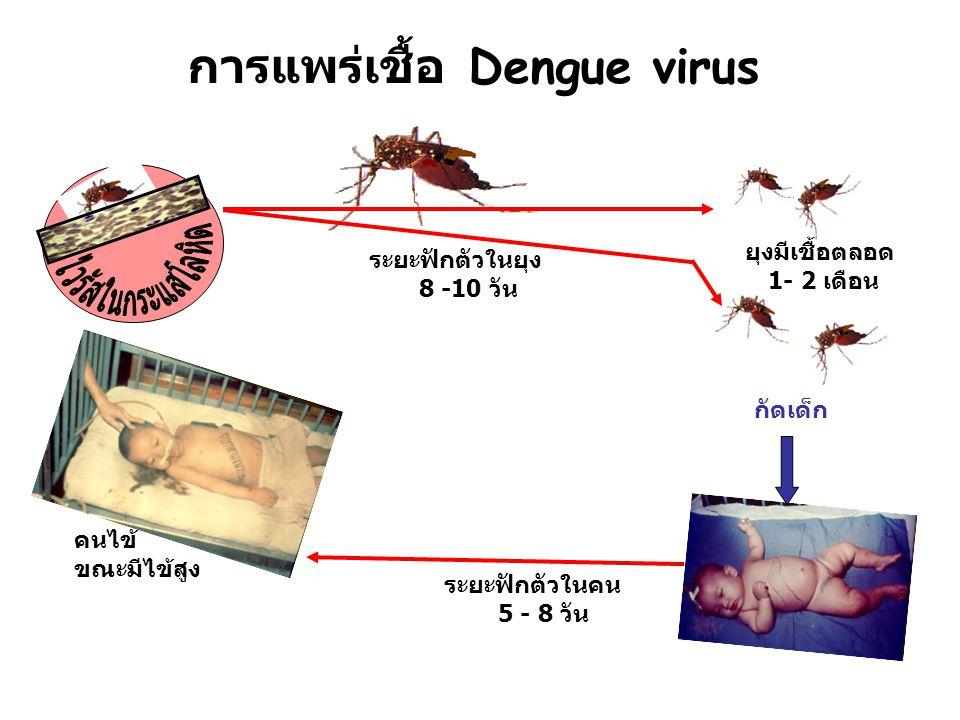 การแพร่เชื้อ Dengue virus ยุงมีเชื้อตลอด 1- 2 เดือน ระยะฟักตัวในยุง 8 -10 วัน ระยะฟักตัวในคน 5 - 8 วัน กัดเด็ก คนไข้ ขณะมีไข้สูง