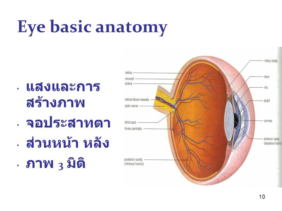 10 Eye basic anatomy แสงและการ สร้างภาพ จอประสาทตา ส่วนหน้า หลัง ภาพ 3 มิติ