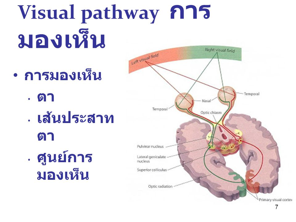7 Visual pathway การ มองเห็น การมองเห็น ตา เส้นประสาท ตา ศูนย์การ มองเห็น