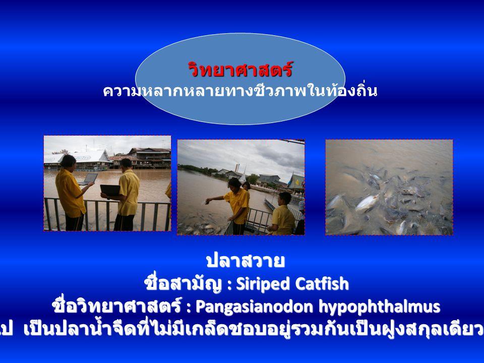 วิทยาศาสตร์ ความหลากหลายทางชีวภาพในท้องถิ่น ปลาสวาย ชื่อสามัญ : Siriped Catfish ชื่อวิทยาศาสตร์ : Pangasianodon hypophthalmus ลักษณะทั่วไป เป็นปลาน้ำจ