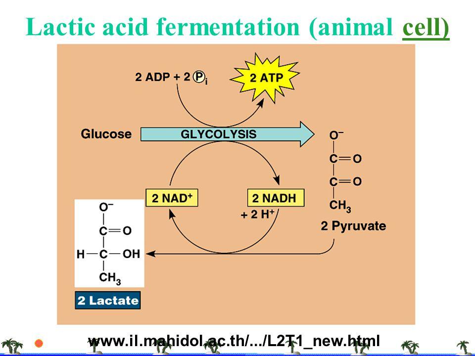 Lactic acid fermentation (animal cell)cell) www.il.mahidol.ac.th/.../L2T1_new.html