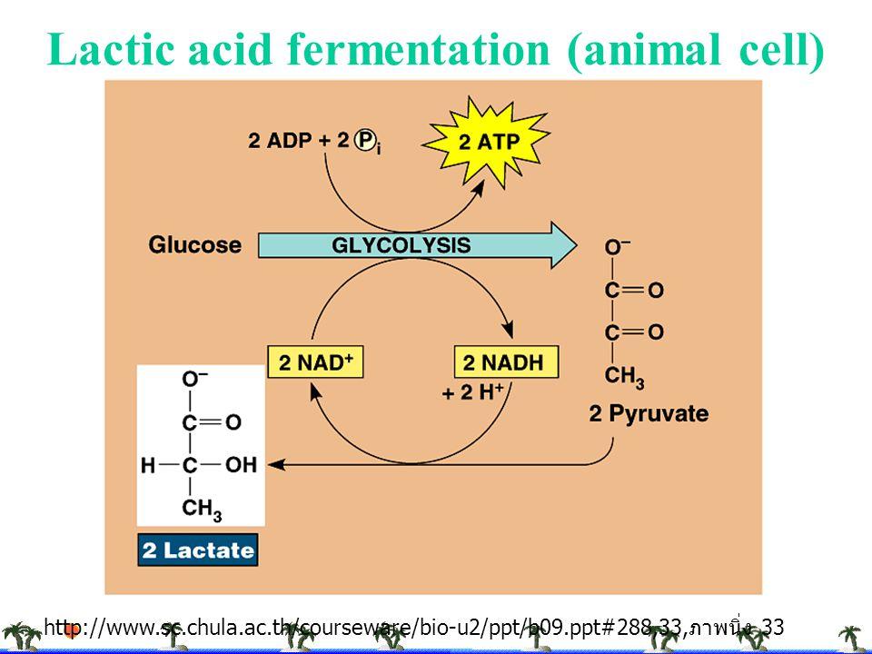 Lactic acid fermentation (animal cell) http://www.sc.chula.ac.th/courseware/bio-u2/ppt/b09.ppt#288,33, ภาพนิ่ง 33