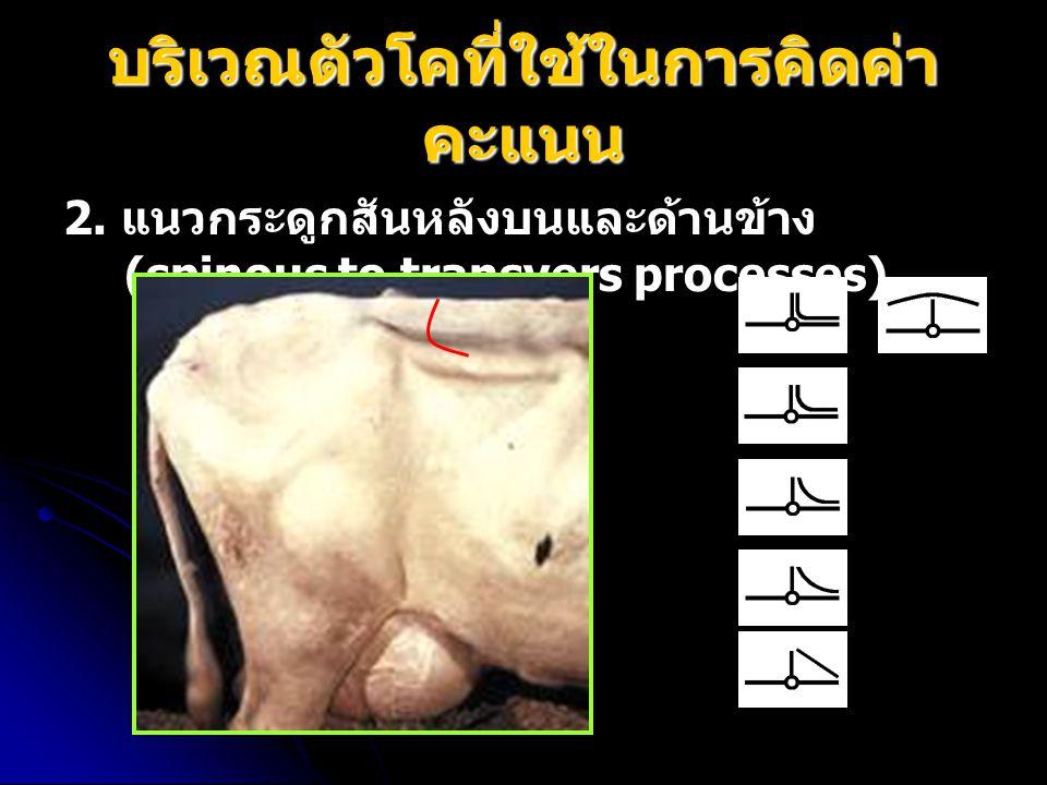 บริเวณตัวโคที่ใช้ในการคิดค่า คะแนน 2. แนวกระดูกสันหลังบนและด้านข้าง (spinous to transvers processes)