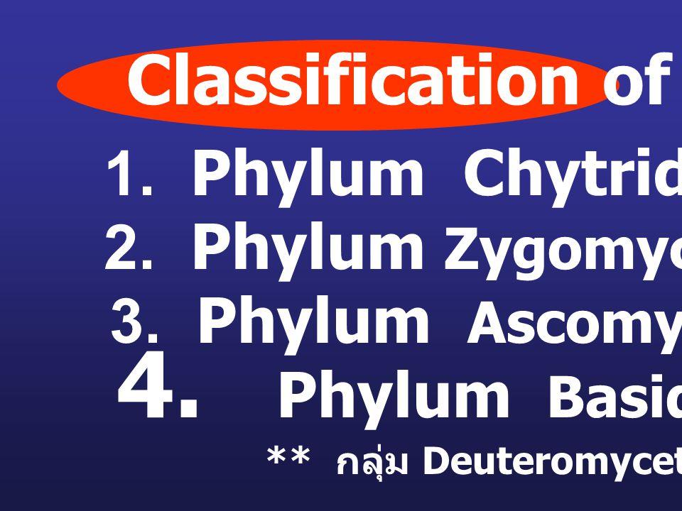1. Phylum Chytridiomycota 2. Phylum Zygomycota 3. Phylum Ascomycota 4. Phylum Basidiomycota ** กลุ่ม Deuteromycetes ** Classification of fungi