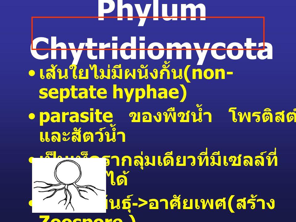 Phylum Chytridiomycota เส้นใยไม่มีผนังกั้น (non- septate hyphae) parasite ของพืชน้ำ โพรติสต์ และสัตว์น้ำ เป็นเห็ดรากลุ่มเดียวที่มีเซลล์ที่ เคลื่อนที่ไ