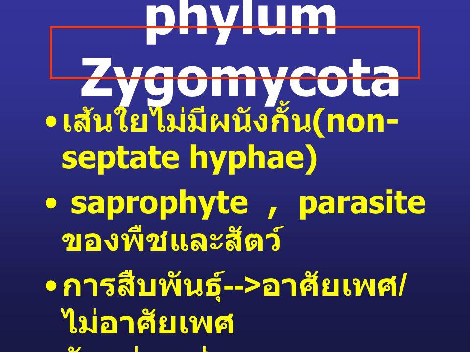 phylum Zygomycota เส้นใยไม่มีผนังกั้น (non- septate hyphae) saprophyte, parasite ของพืชและสัตว์ การสืบพันธุ์ --> อาศัยเพศ / ไม่อาศัยเพศ ตัวอย่างเช่น -