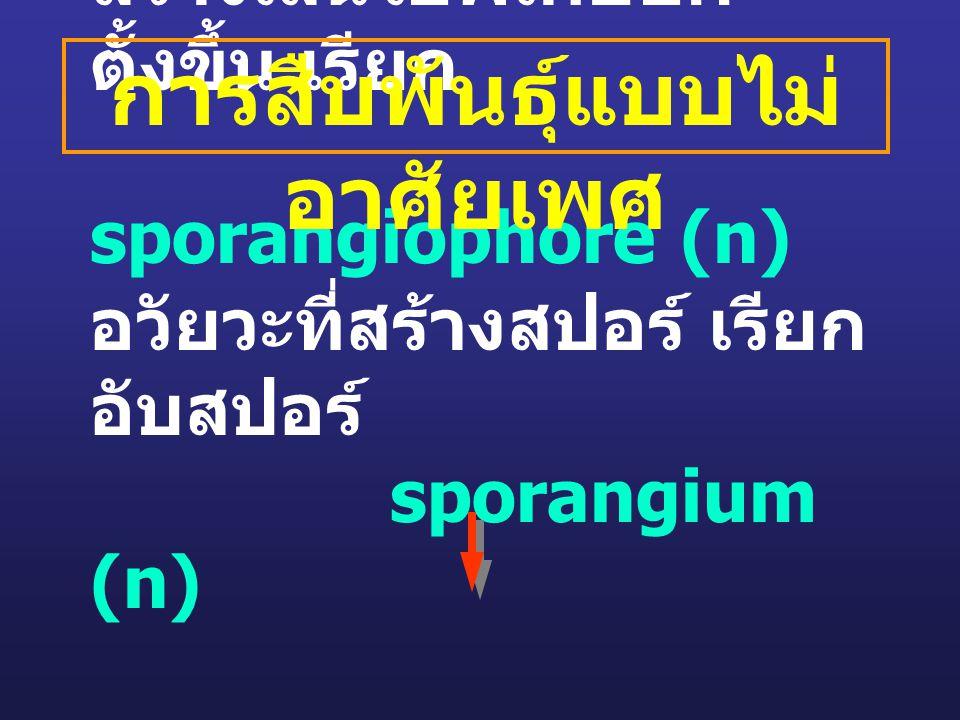 สร้างเส้นใยพิเศษยก ตั้งขึ้น เรียก sporangiophore (n) อวัยวะที่สร้างสปอร์ เรียก อับสปอร์ sporangium (n) sporangiospore (n) การสืบพันธุ์แบบไม่ อาศัยเพศ