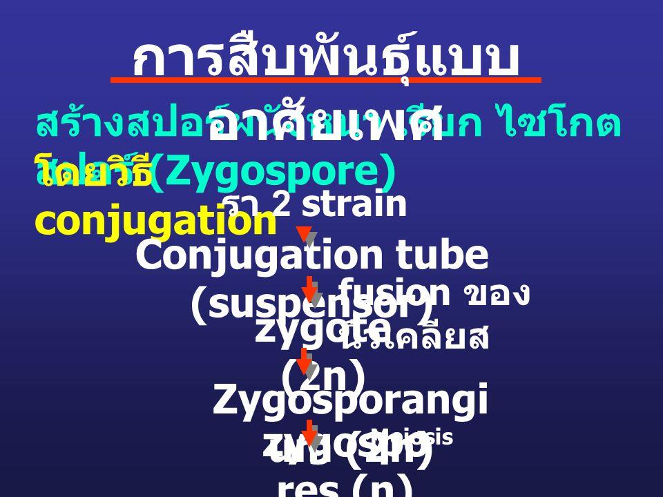 zygospo res (n) สร้างสปอร์ผนังหนา เรียก ไซโกต สปอร์ (Zygospore) โดยวิธี conjugation Conjugation tube (suspensor) รา 2 strain fusion ของ นิวเคลียส zygo