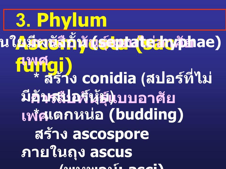 3. Phylum Ascomycota (sac fungi) - การสืบพันธุ์แบบอาศัย เพศ สร้าง ascospore ภายในถุง ascus ( พหูพจน์ ; asci) - การสืบพันธุ์แบบไม่อาศัย เพศ * สร้าง con