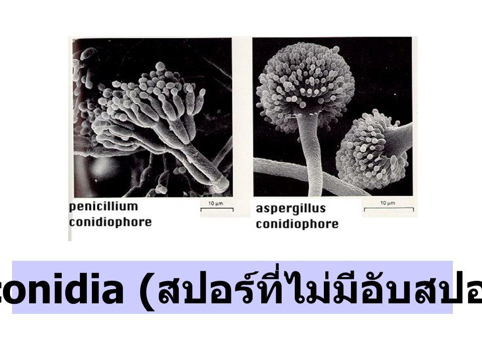 สร้าง conidia ( สปอร์ที่ไม่มีอับสปอร์หุ้ม )